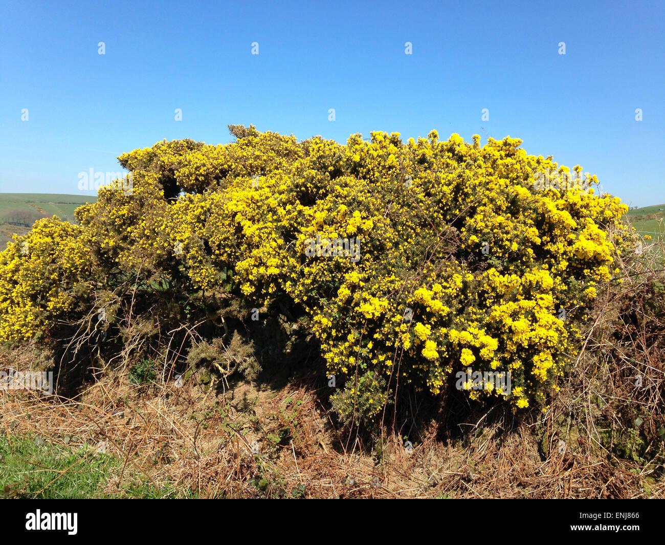 Golden Gorse Bush Stock Photo Royalty Free Image