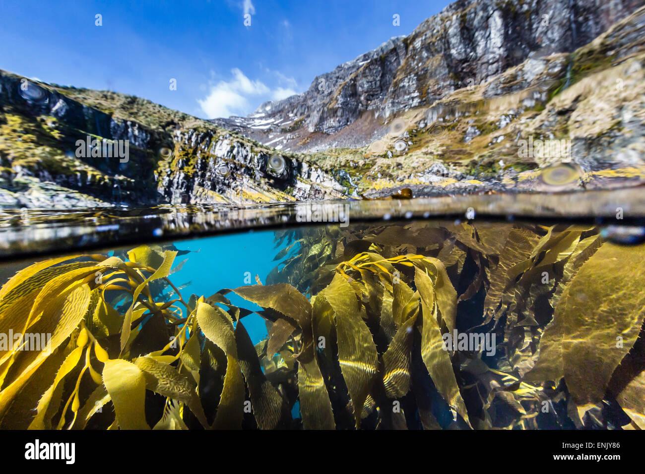above and below. above and below water view of kelp in hercules bay, south georgia, polar regions