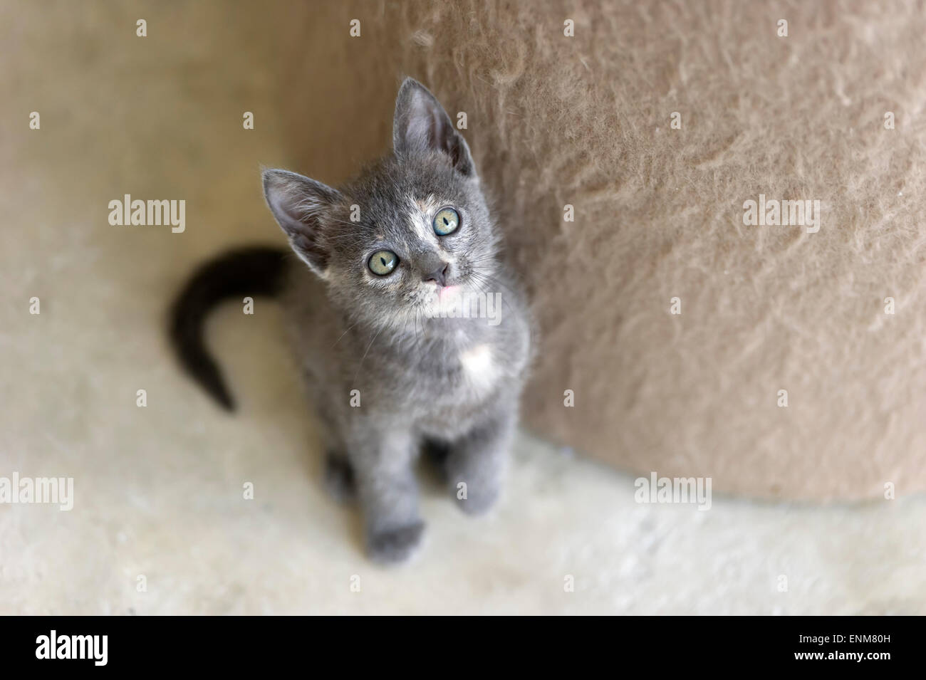 A cute gray kitten with green eyes is looking up Stock