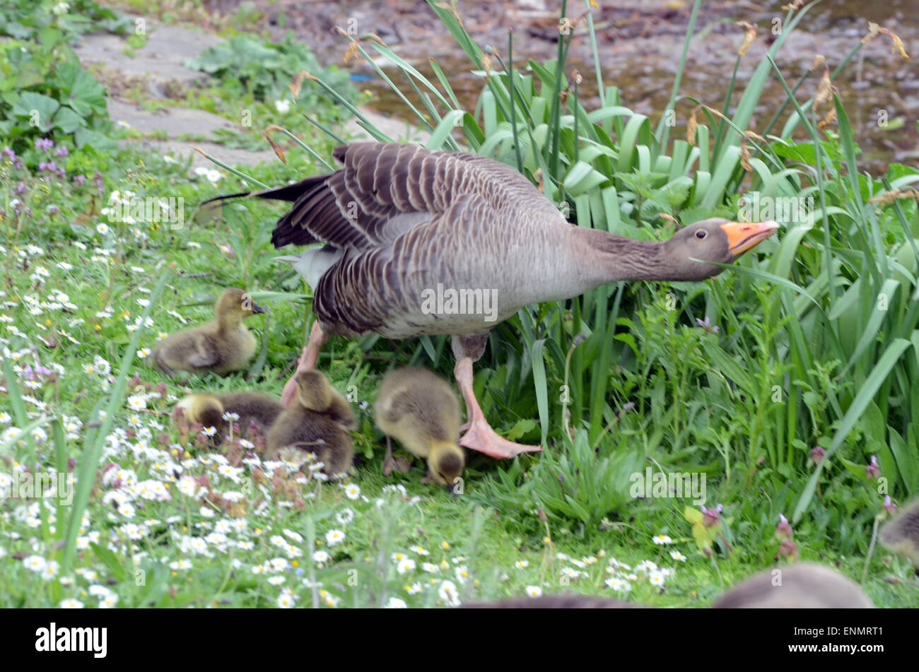 Canada Goose mens replica price - London, Uk. 8th May, 2015. Uk Weather: Mother Goose Protects Her ...