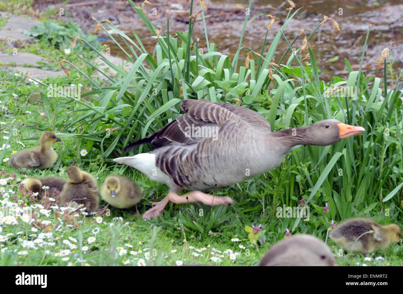 Canada Goose' 2015 green