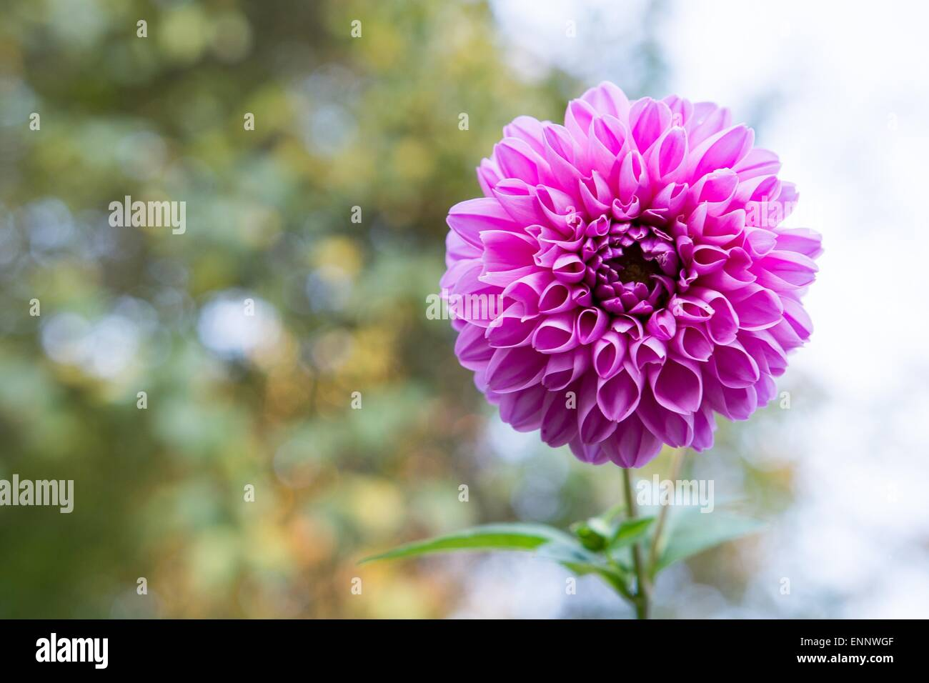 Flower With Nice Pink Blossom And Green Blurred Background