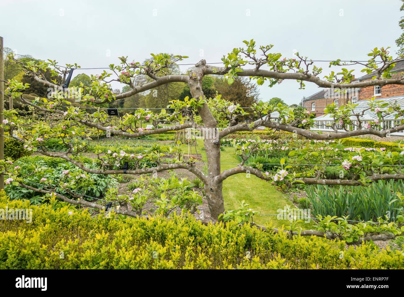 Espalier Apple Tree Kitchen Garden Walmer Castle Deal Kent