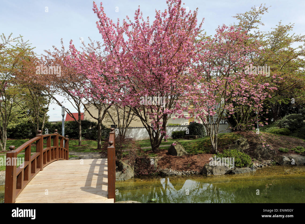 blossoming cherry trees and a traditional bridge in the japanese garden japanischer garten in bad langensalza germany