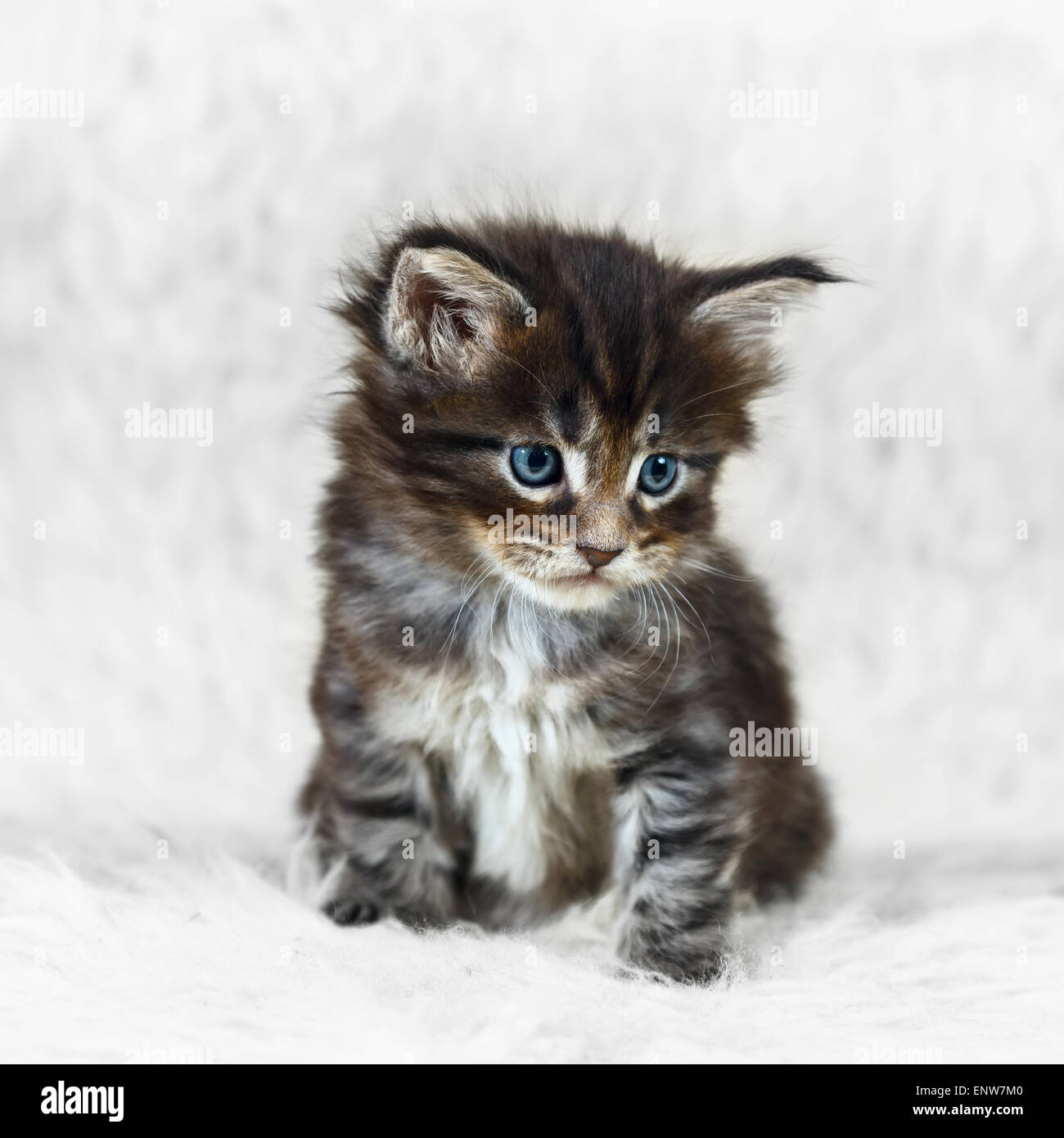 Small gray maine coon kitten with blue eyes posing on white Stock