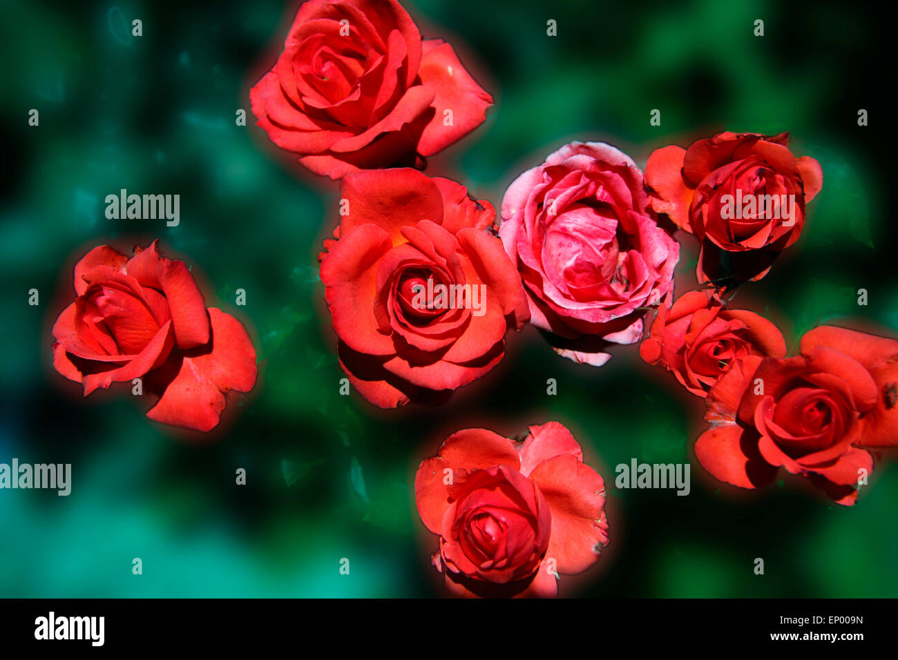 Rote Rosen   Symbolbild Liebe/ Valentinstag/ Red Rose   Symbolic Image For  Love, Afection And Valentines Day