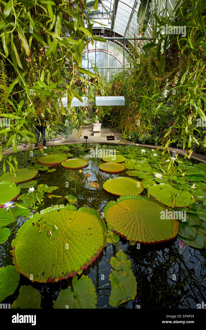 giant water lilies wintergardens auckland domain auckland