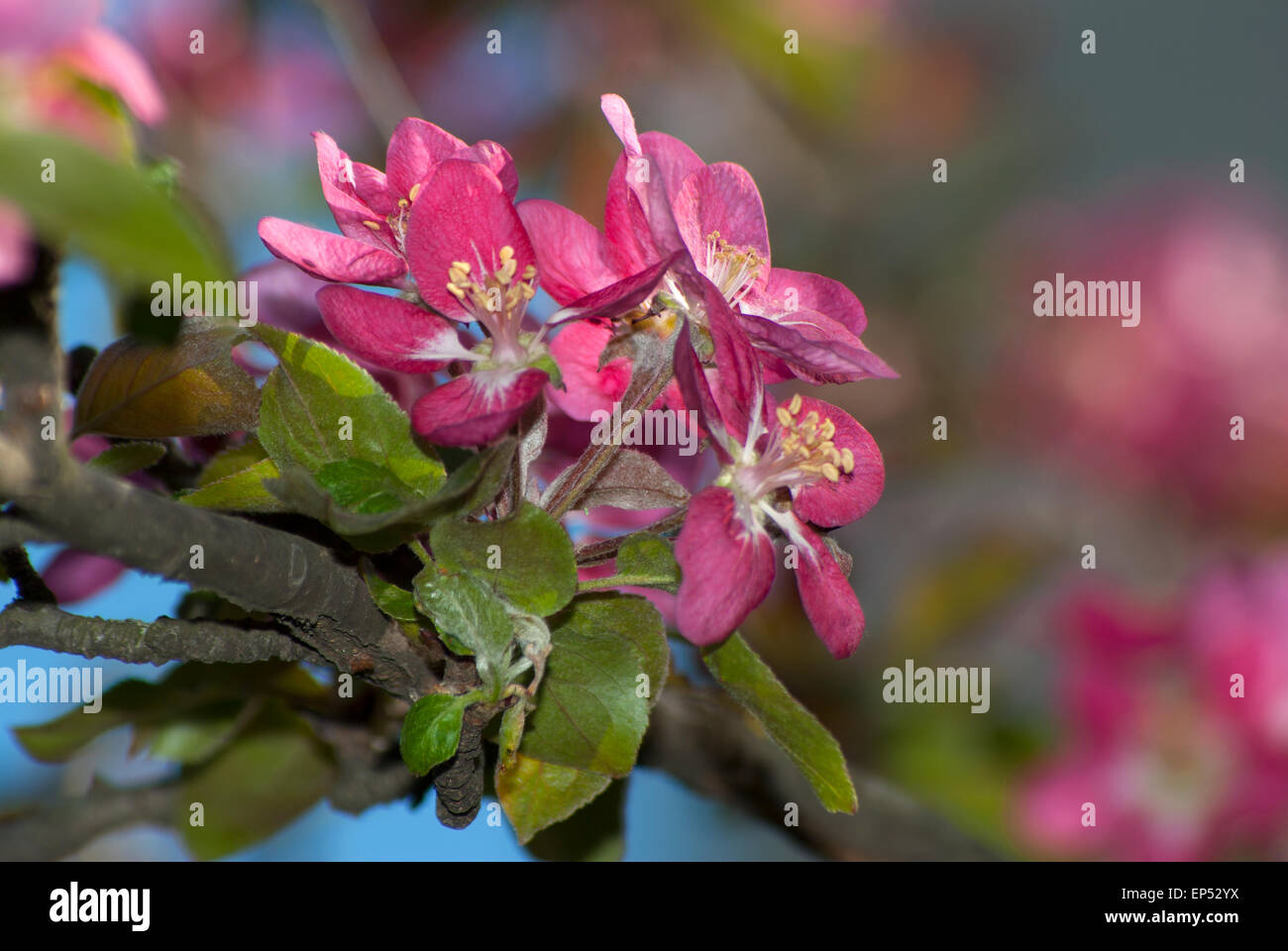 The flowers are dark pink on the branch of an apple tree stock photo the flowers are dark pink on the branch of an apple tree mightylinksfo