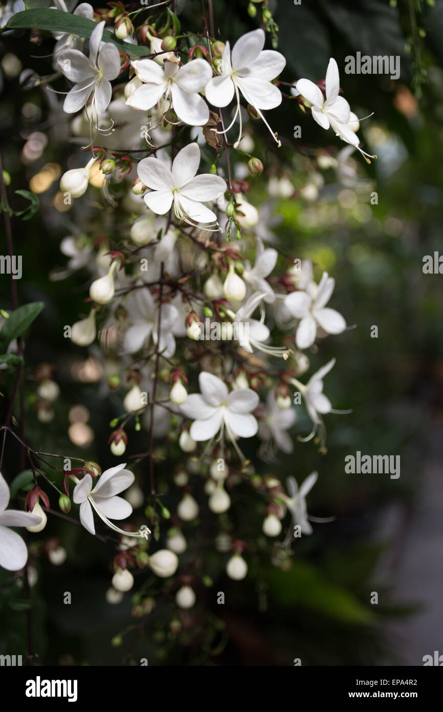 Beautiful White Flowers Bloom In Winter Clerodendrum