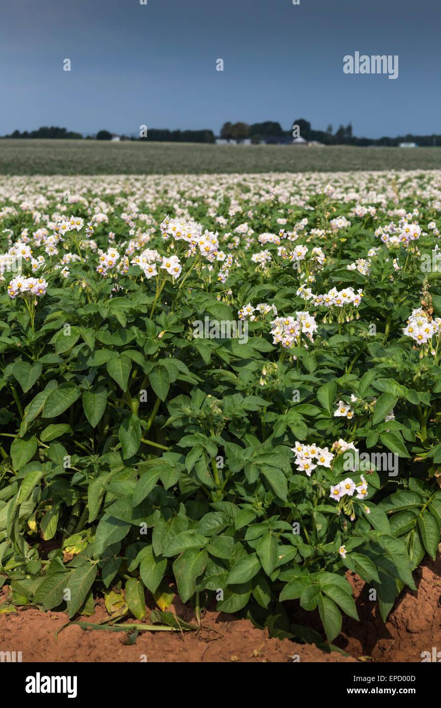 Potato plants flower in a potato field in rural Prince ...