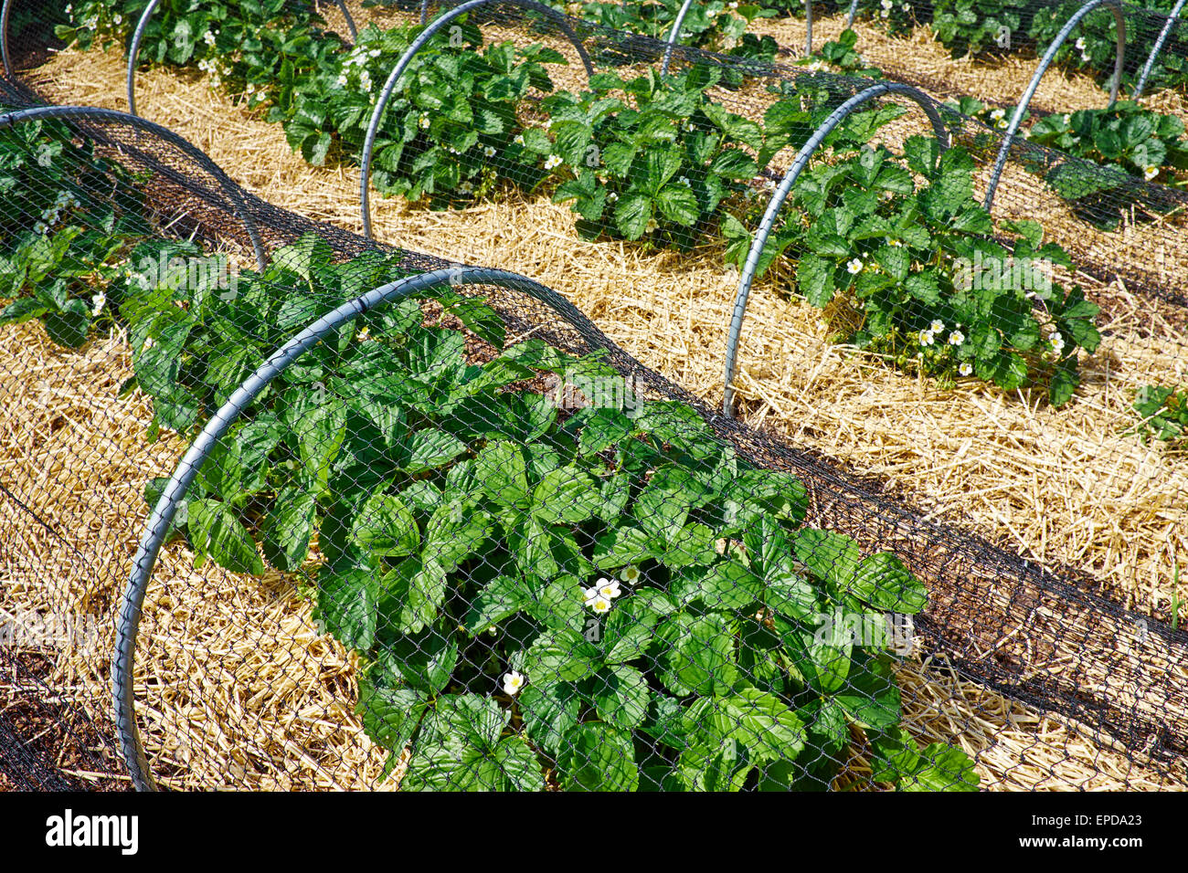 Strawberry Plants Growing Stock Photos & Strawberry Plants Growing ...