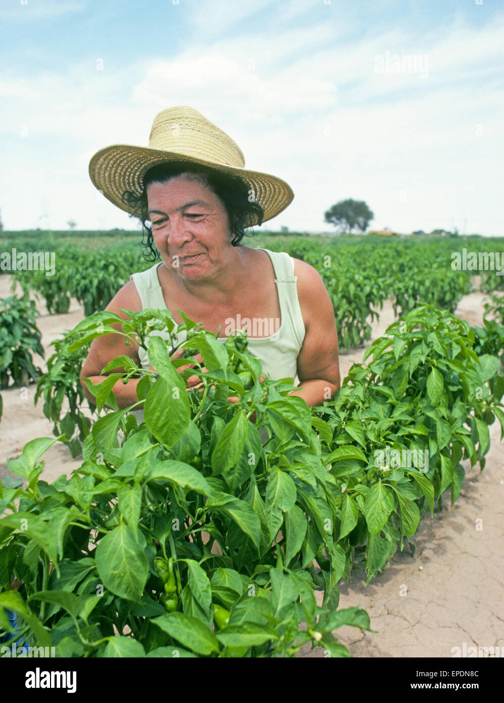 an illegal mexican worker picks hatch green chile from a farm field near the small town