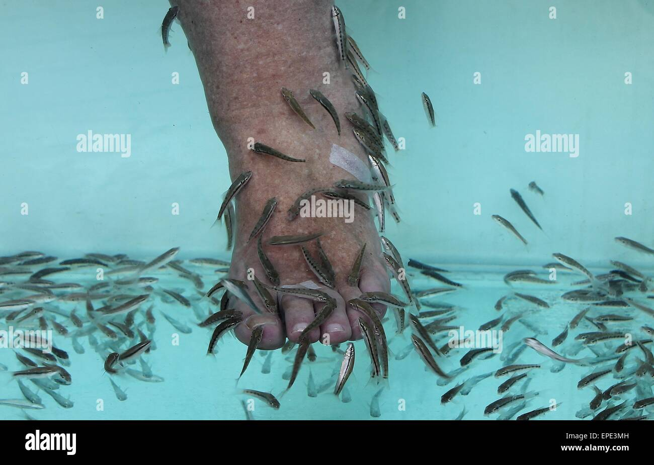 Garra rufa also called doctor fish nibble fish and for A salon called fish