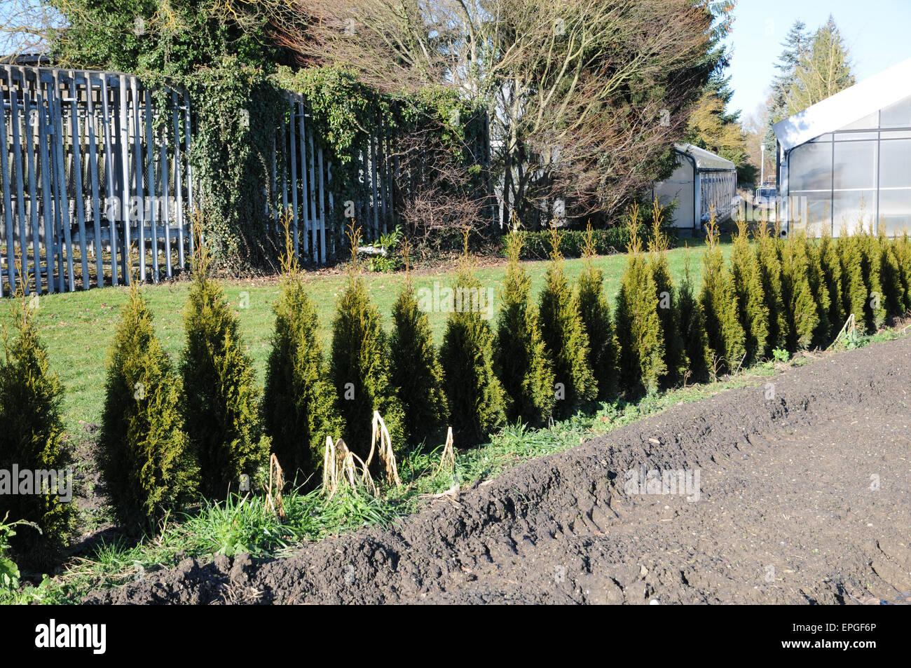 thuja occidentalis smaragd hedge stock photo royalty. Black Bedroom Furniture Sets. Home Design Ideas