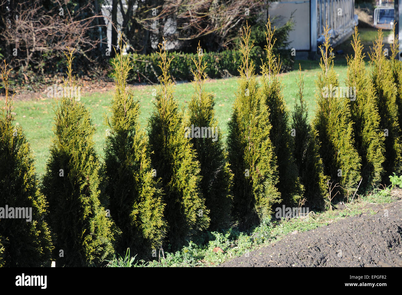 thuja occidentalis smaragd hedge stock photo royalty free image 82727122 alamy. Black Bedroom Furniture Sets. Home Design Ideas