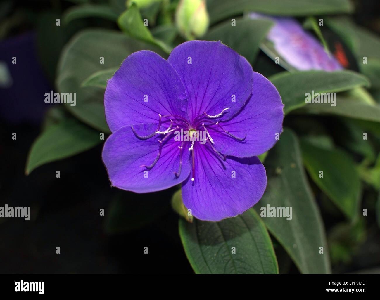 Glorybush tibouchina purple beautiful and exotic tropical flower glorybush tibouchina purple beautiful and exotic tropical flower with many names such as princess flower glorybush lasiandra izmirmasajfo Images