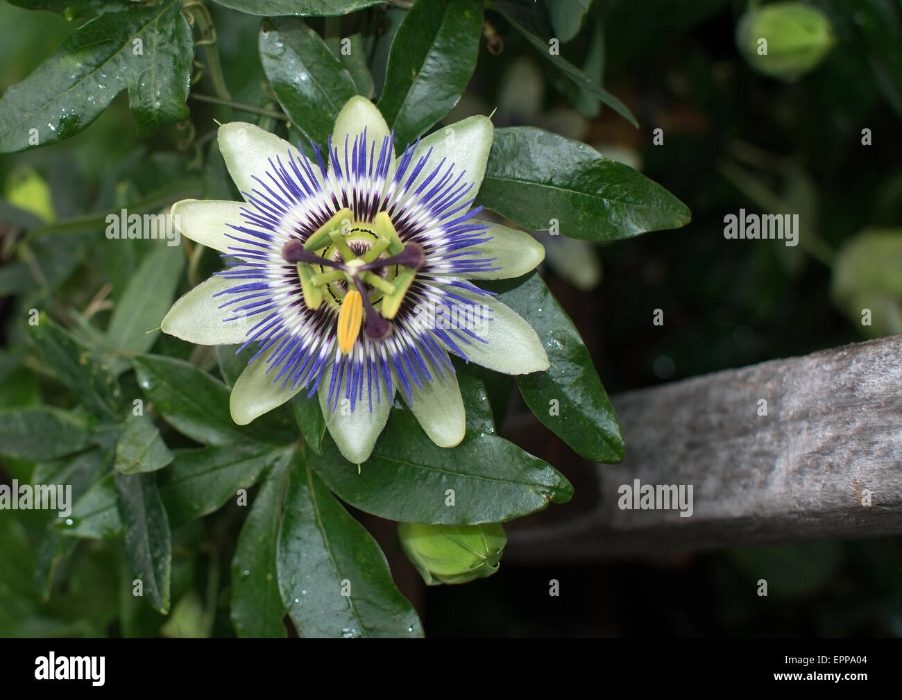 Purple and white passion flower passiflora closeup stock photo purple and white passion flower passiflora closeup dhlflorist Images