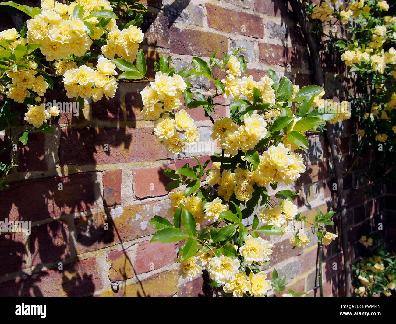 Rosa Banksiae Lutea, a rambling rose growing against a red brick ...