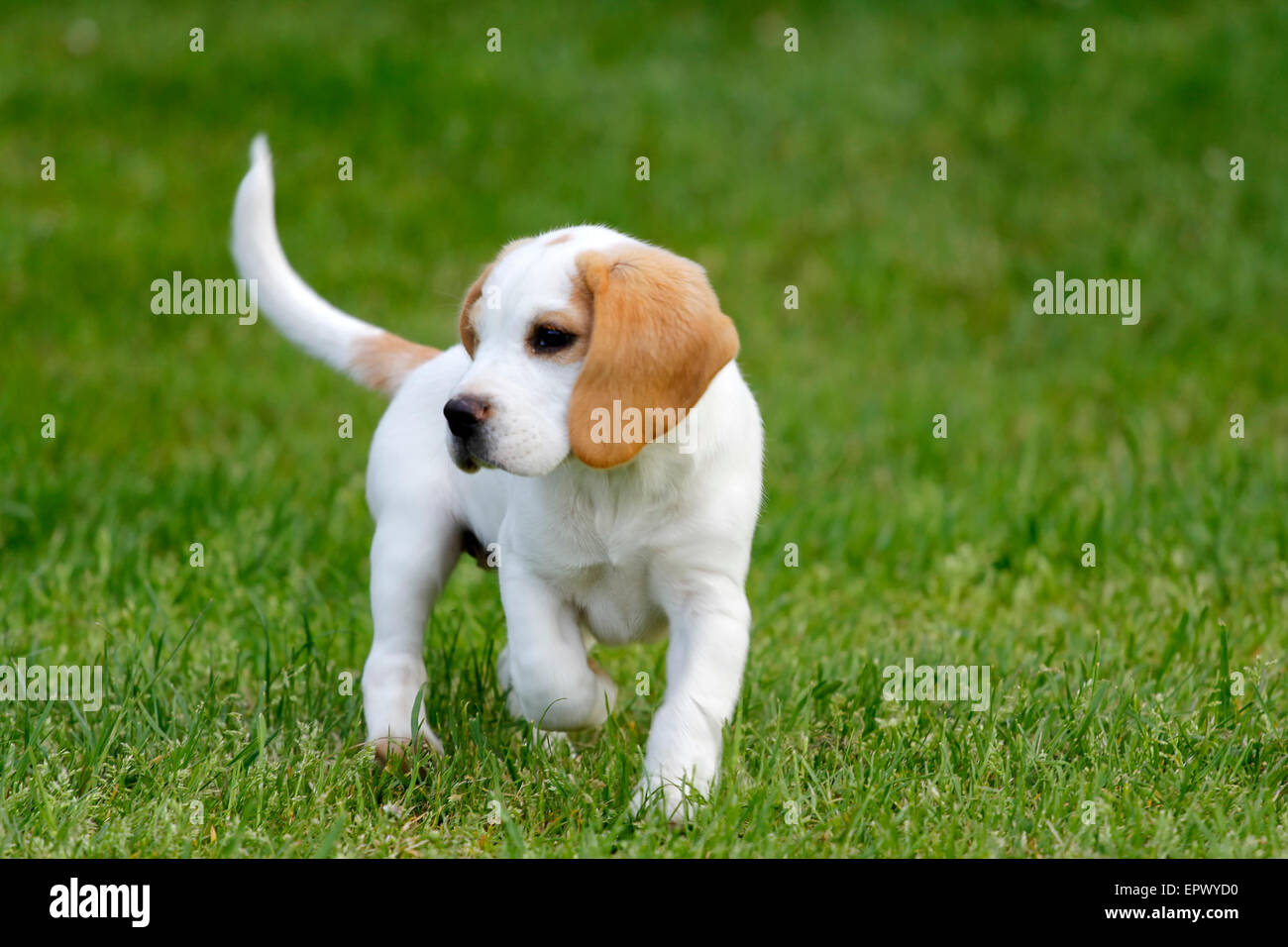 Cute beagle puppy running on the grass stock photo 82934236 alamy cute beagle puppy running on the grass voltagebd Image collections