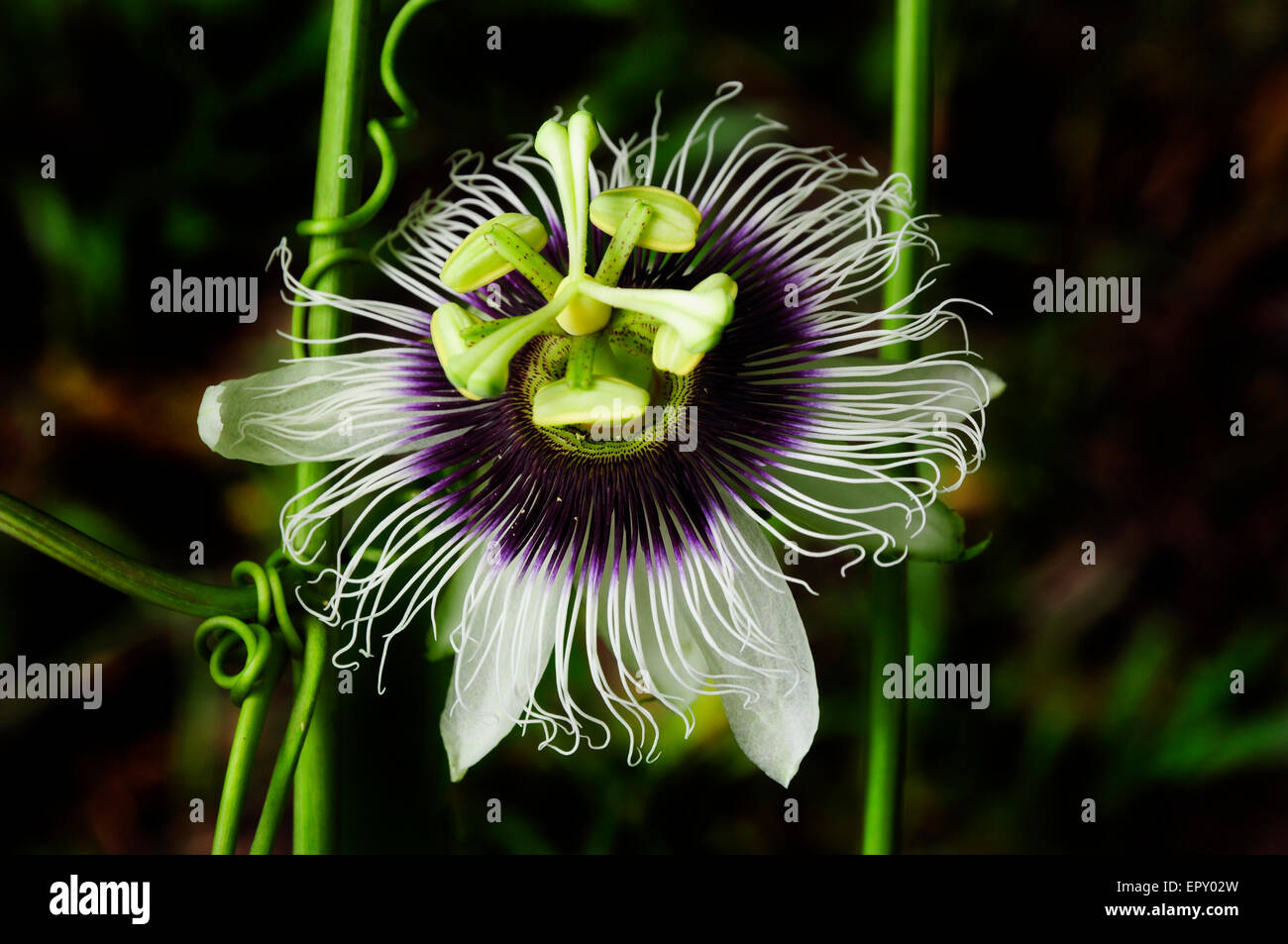 A white and purple passion fruit flower in a natural setting stock a white and purple passion fruit flower in a natural setting dhlflorist Images