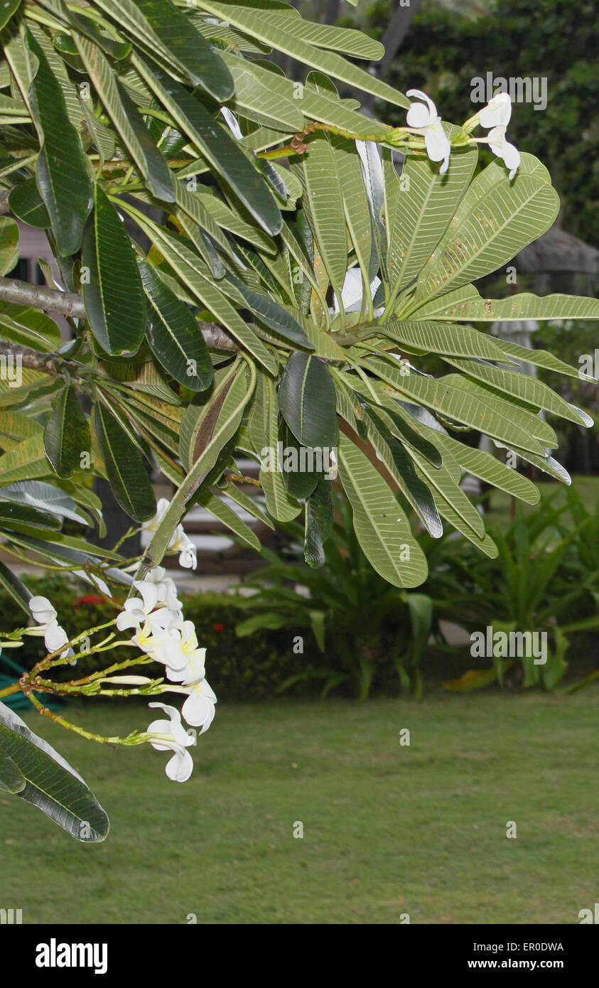 Old fashioned tree with big leaves and white flowers pictures best tree big leaves white flowers choice image flower decoration ideas mightylinksfo