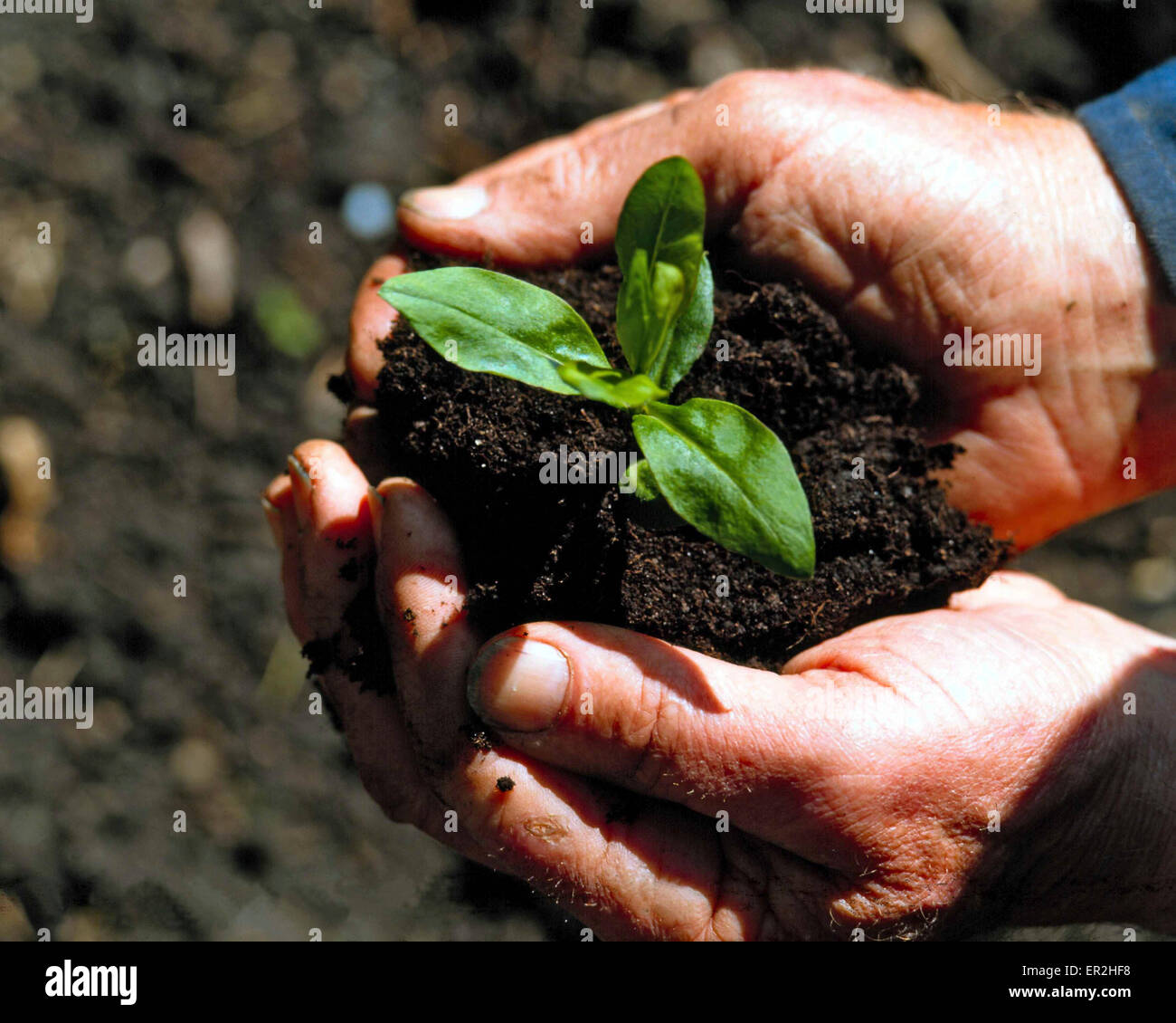 Man hands earth plants hold symbol nature ecology stock man hands earth plants hold symbol nature ecology environment protection welfare responsibility growth sprout seed biocorpaavc
