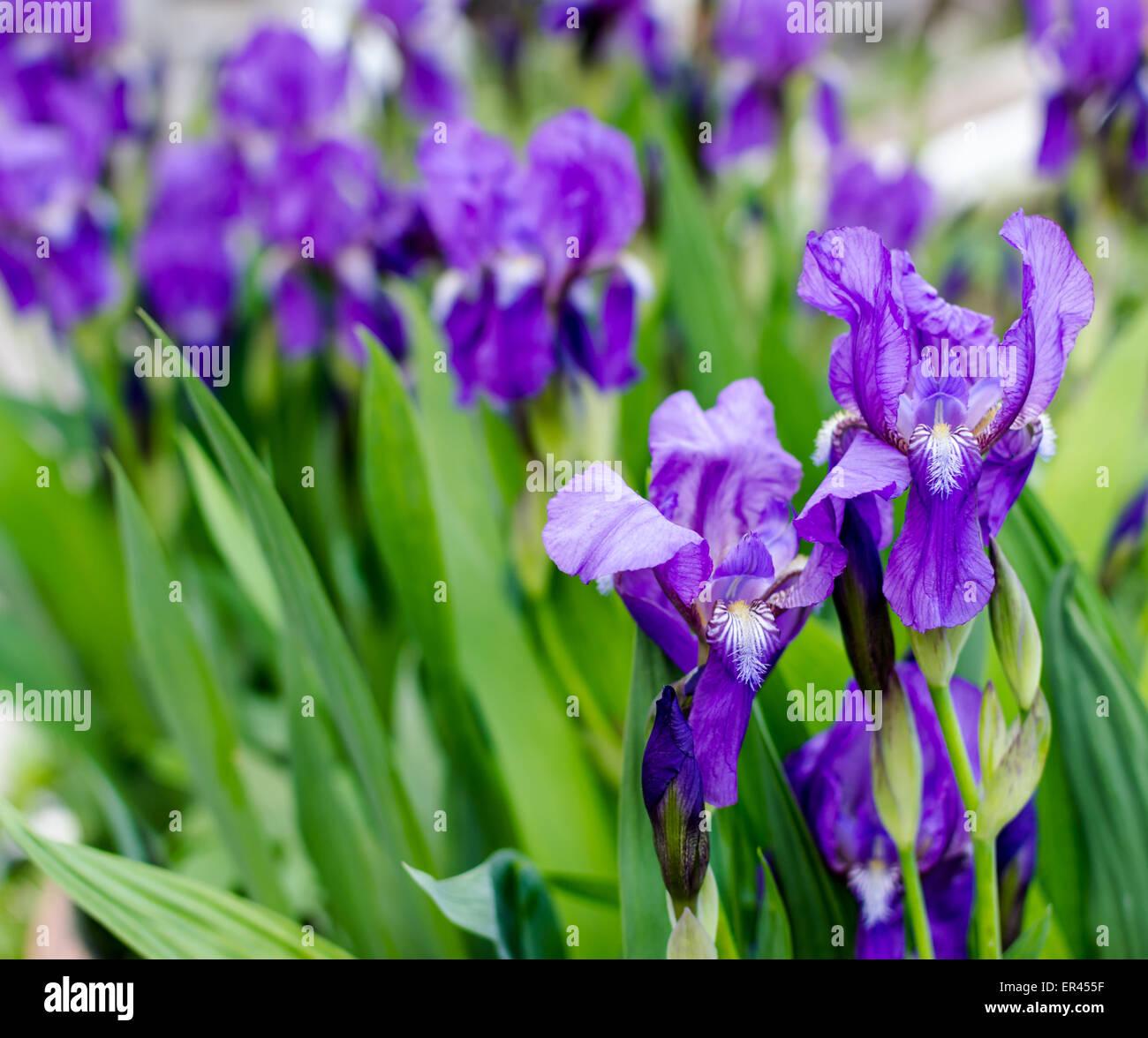 Bunch of iris flowers in full springtime bloom stock photo royalty bunch of iris flowers in full springtime bloom izmirmasajfo Image collections