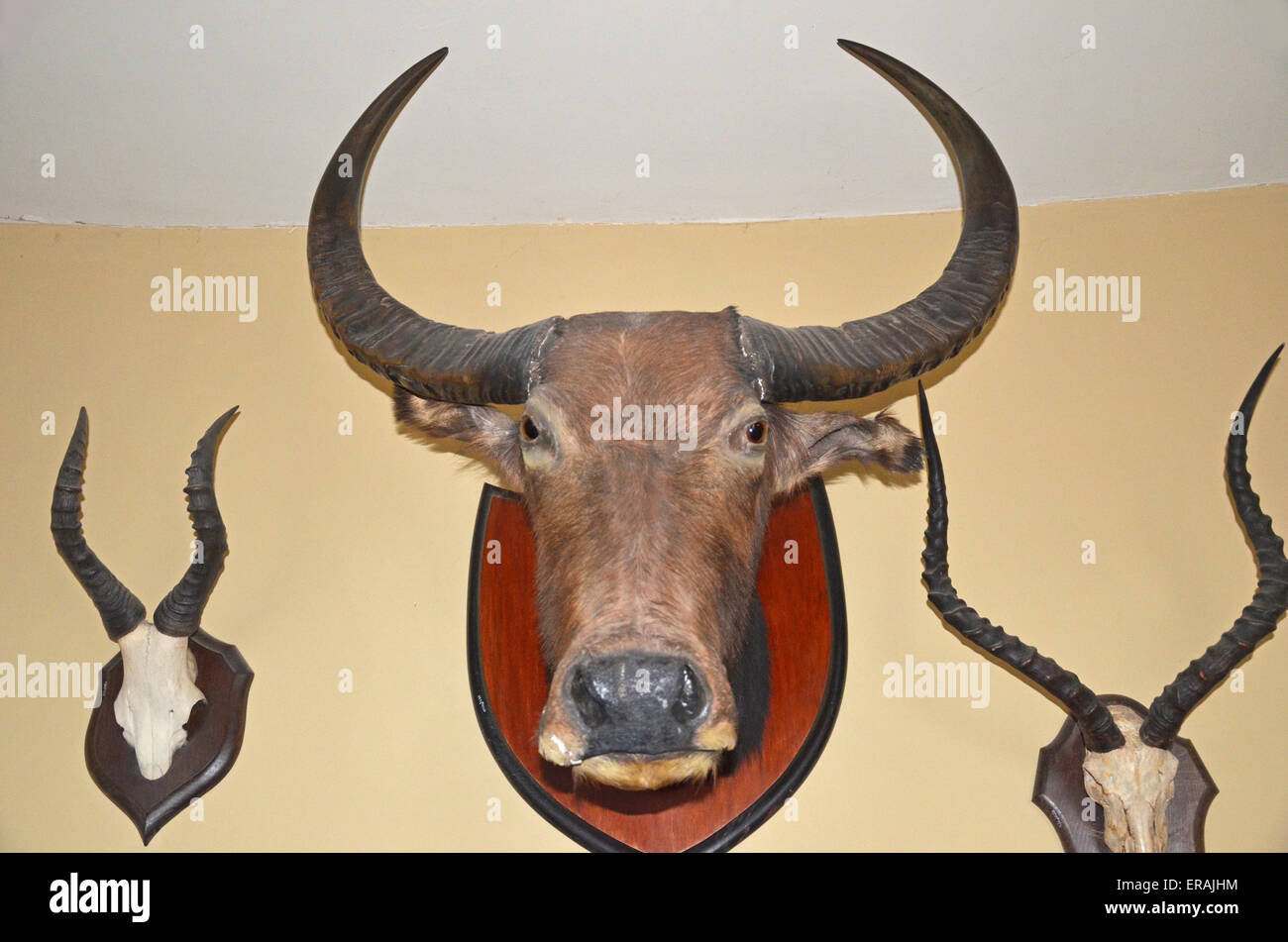 Cow Skull On Wall Stock Photos & Cow Skull On Wall Stock Images ...