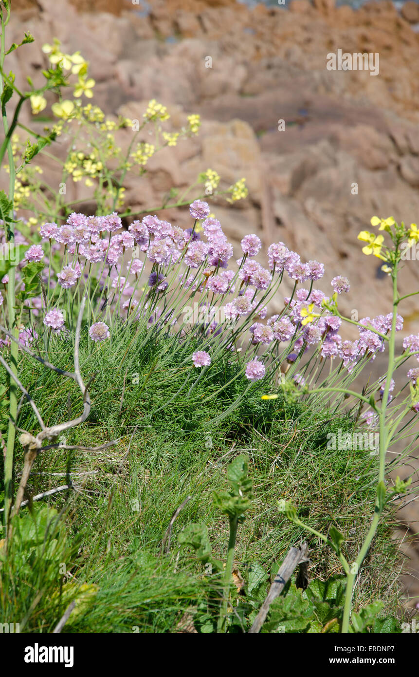 Cushion like bunches of the rounded pink flowers of thrift are a cushion like bunches of the rounded pink flowers of thrift are a common sight on coastal cliffs shingle beaches and sand dunes mightylinksfo Images