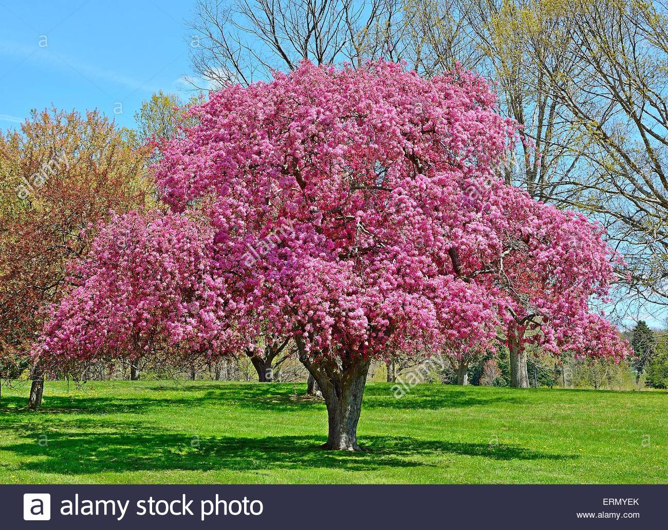 Flowering Crabapple Tree Stock Royalty Free Image Alamy