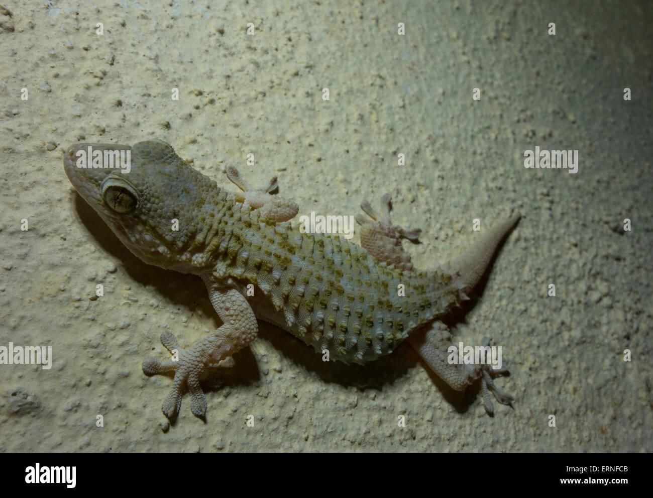 close up mediterranean house gecko, hemidactylus turcicus, from