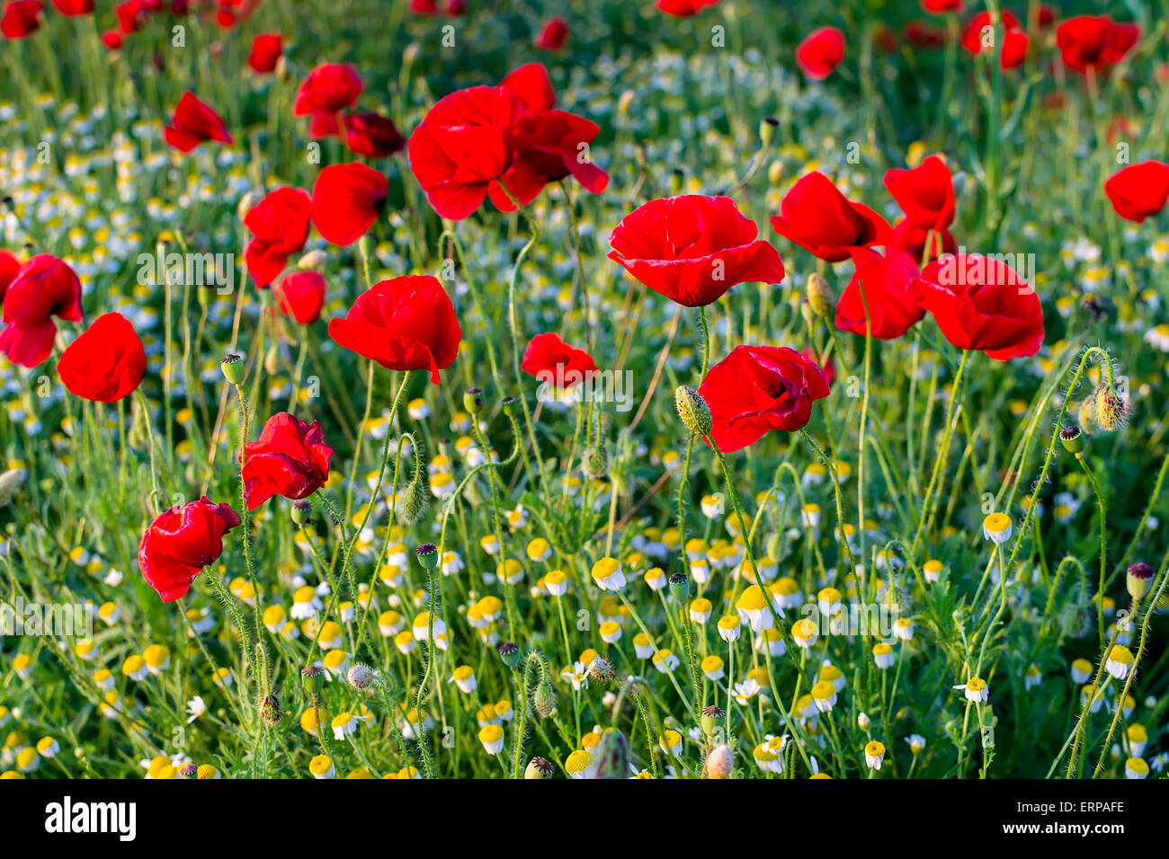 a lot of colorful poppies and camomiles bloom in meadow stock, Beautiful flower