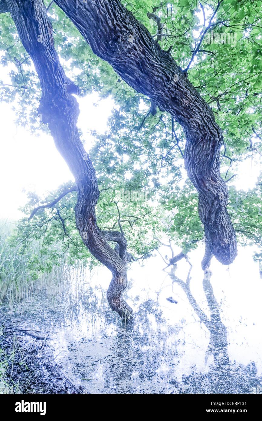 Oak Quercus landscaped gardens a UNESCO World Heritage Site