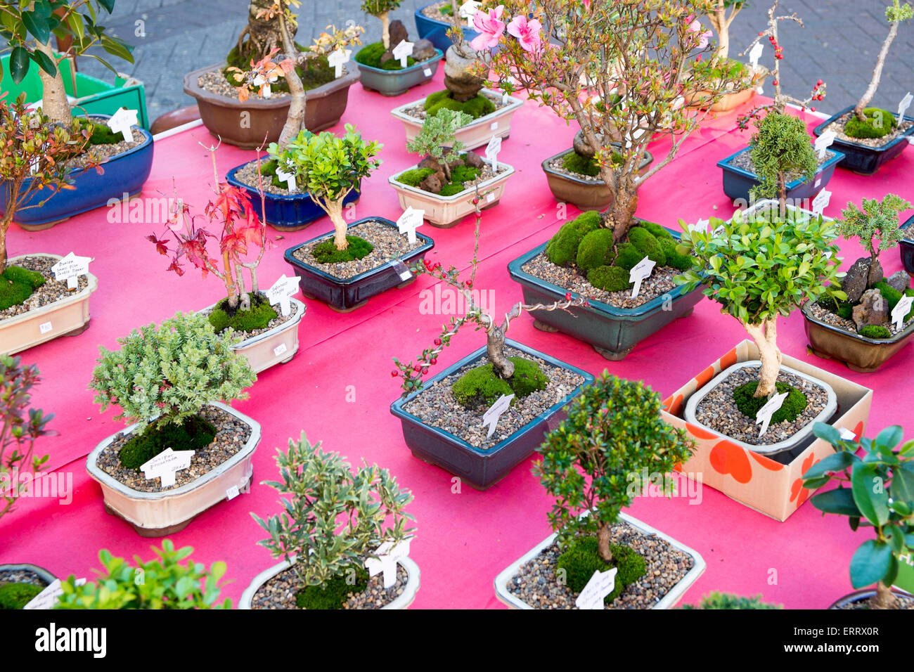 bonsai trees and plants in pots for sale on a market stall in stock photo royalty free image. Black Bedroom Furniture Sets. Home Design Ideas