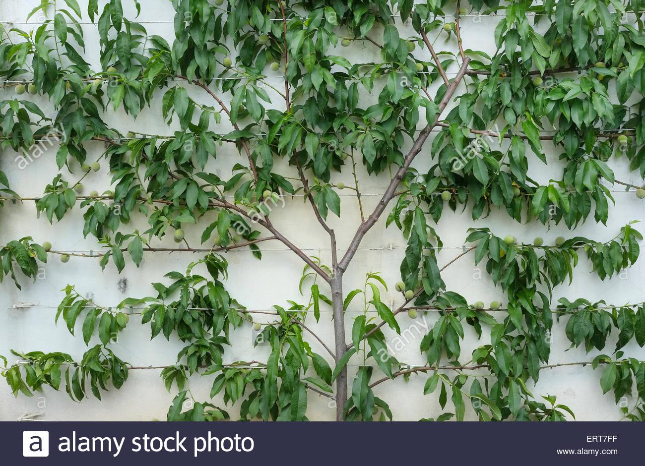 Stock Photo   Espalier Peach Tree On White Painted Garden Wall