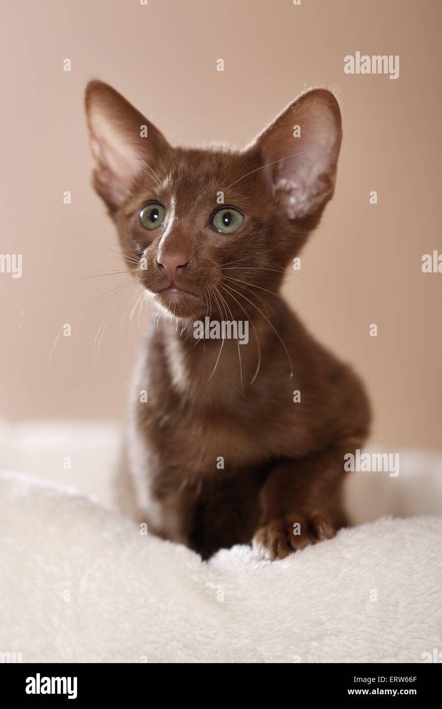 Oriental Shorthair kitten Stock Royalty Free Image