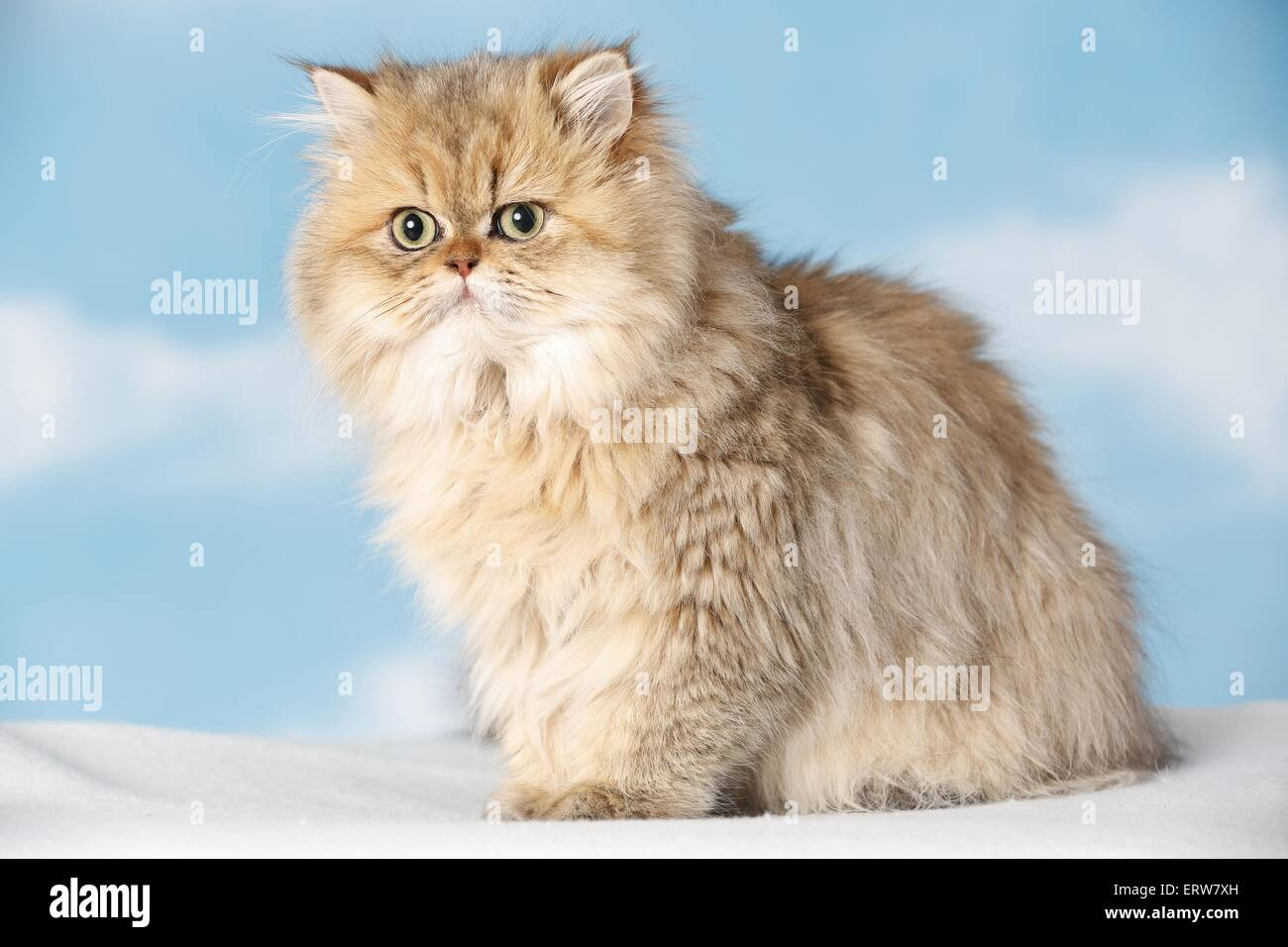 Golden shaded persian cat – Cats and pussies popular in the USA