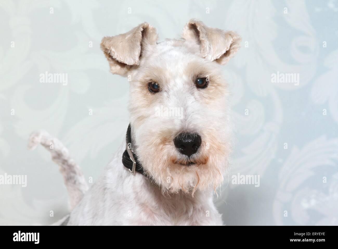 Fox Terrier Portrait Stock Photo, Royalty Free Image: 83583010 - Alamy