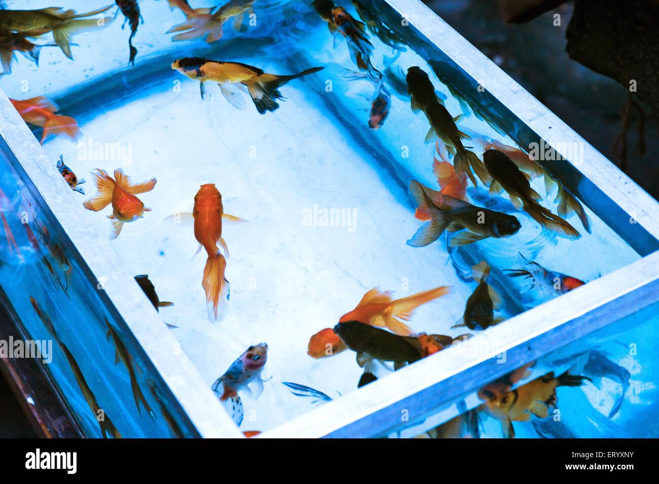Fish for aquarium in kolkata - Aquarium Fishes Japanese Gold Fish Calcutta Kolkata West Bengal India
