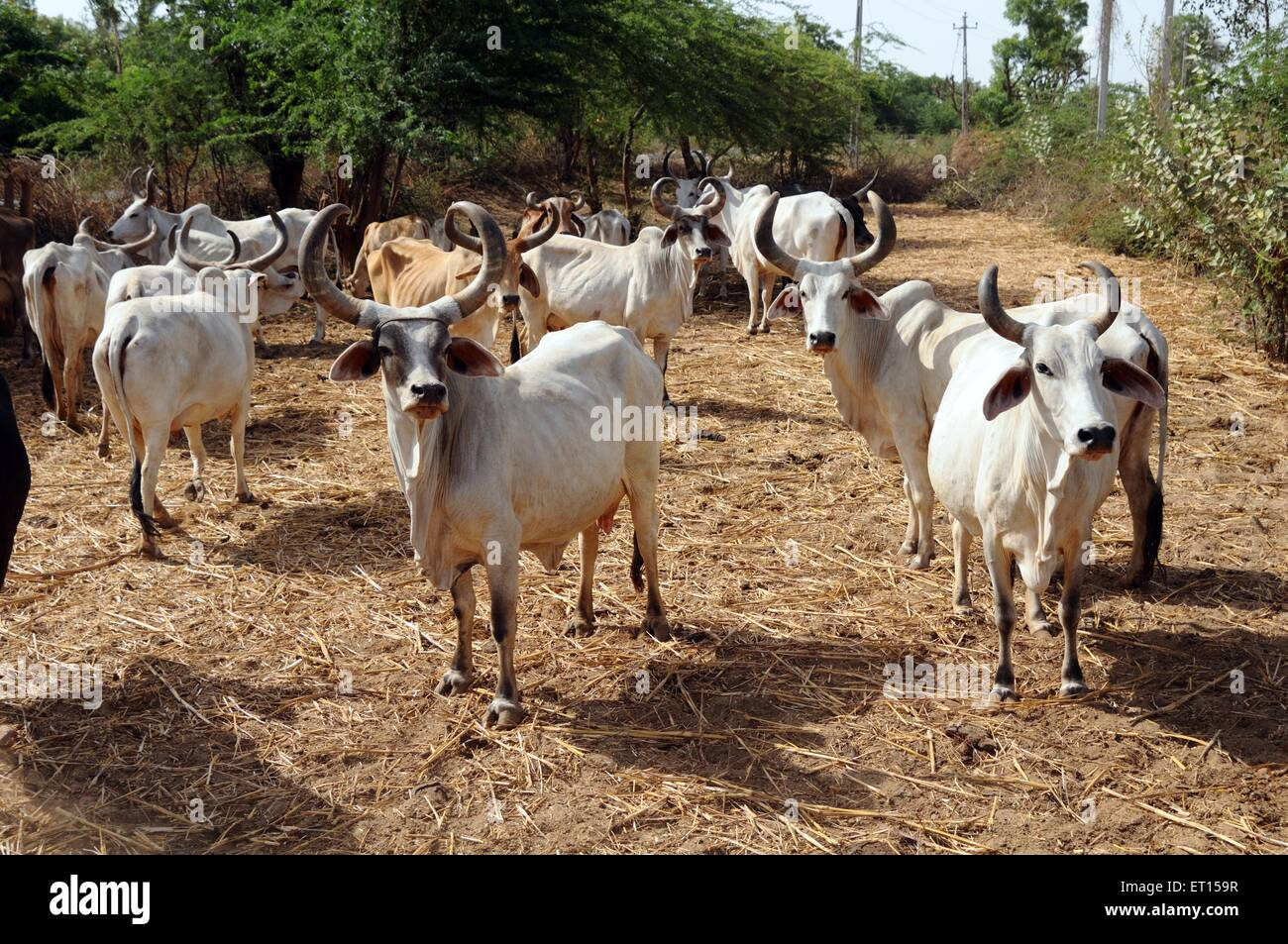 herd of cows kutch gujarat india stock photo royalty free