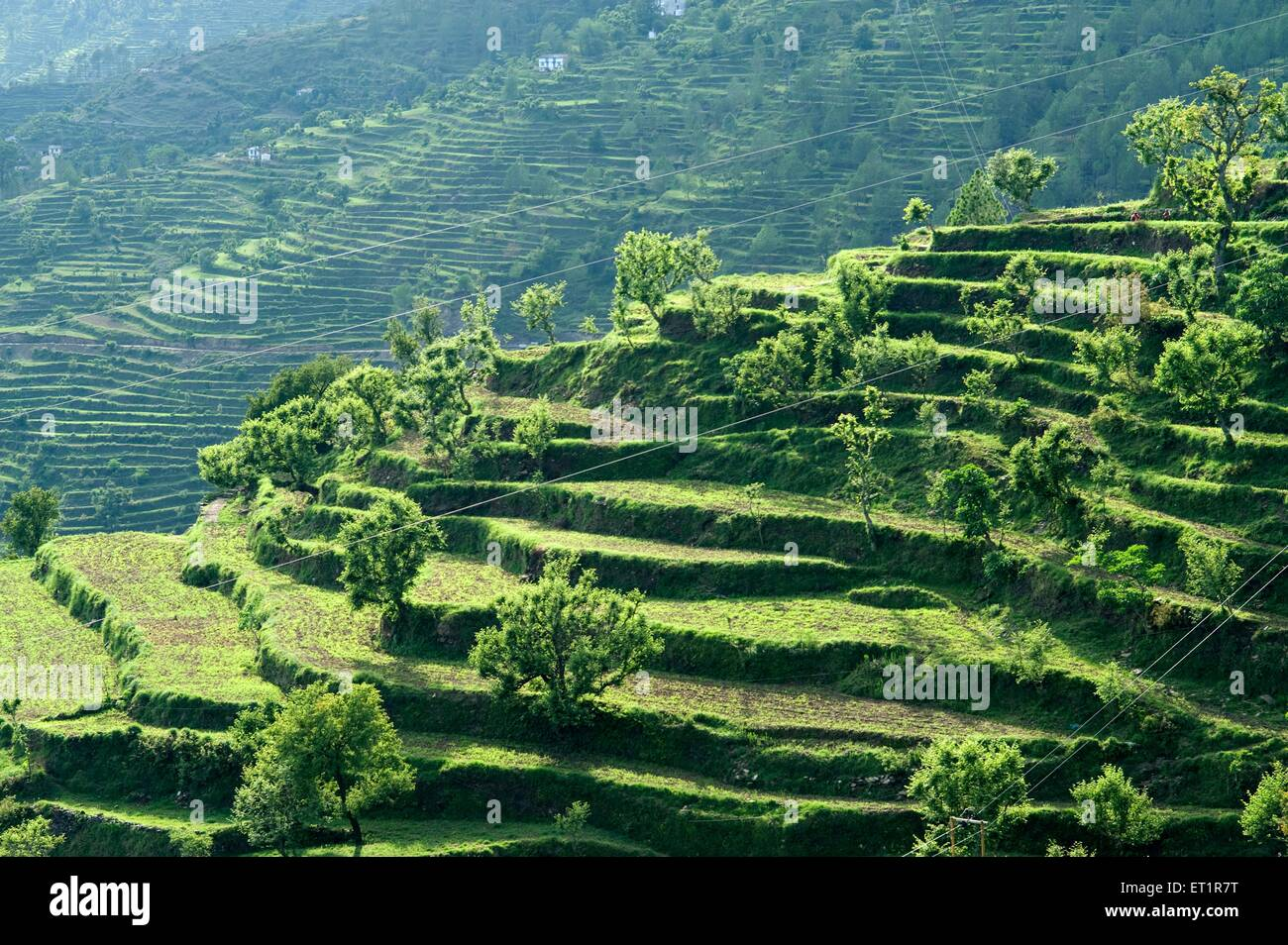 terrace farming in uttarakhand india asia stock photo