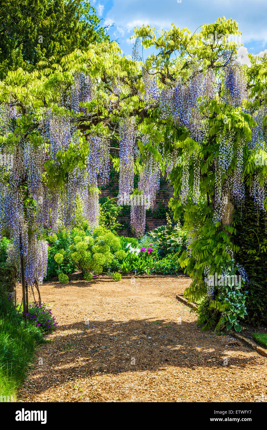 Blue flowering Chinese wisteria sinensis in the walled garden of ...