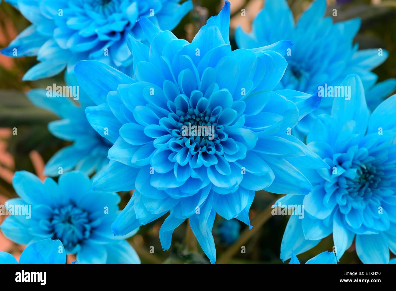 Blue dyed Chrysanthemum flowers Stock Photo, Royalty Free ...