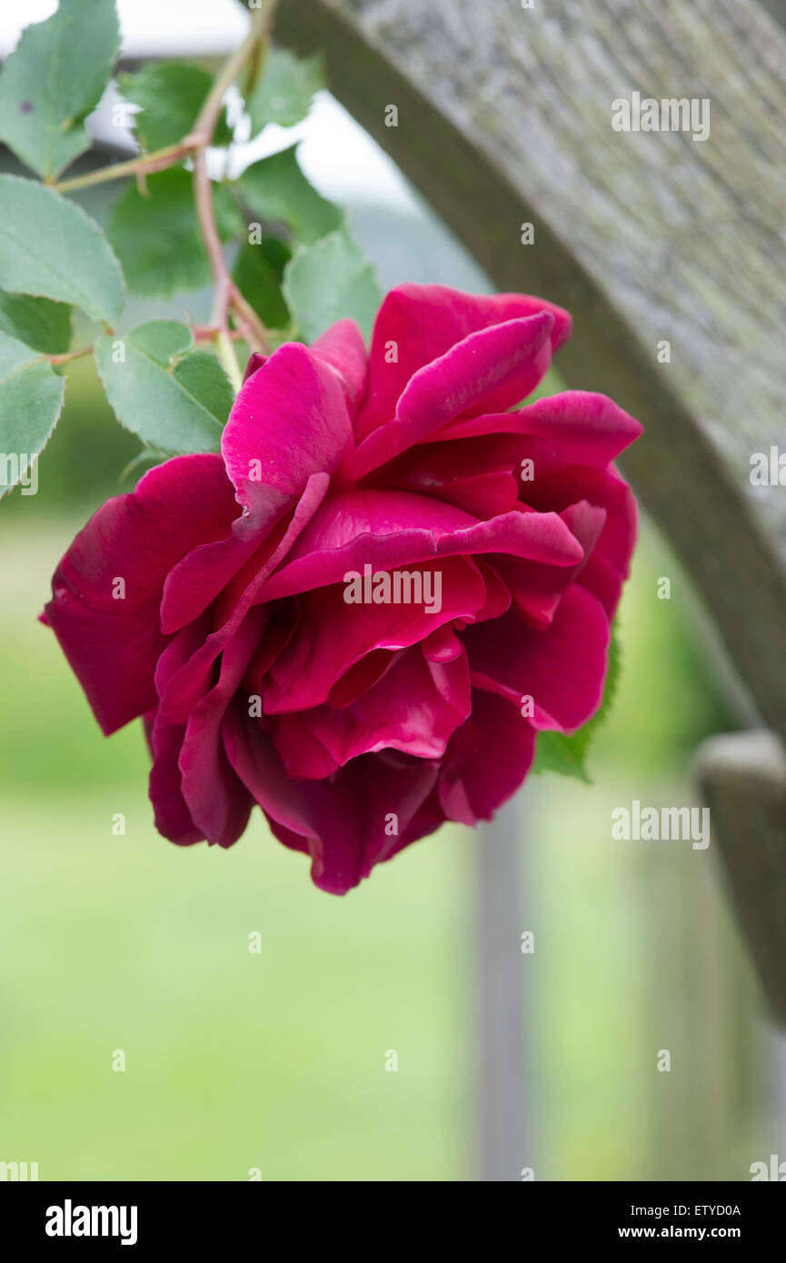 rosa 39 etoile de hollande 39 english climbing rose on an arbor red stock photo royalty free image. Black Bedroom Furniture Sets. Home Design Ideas