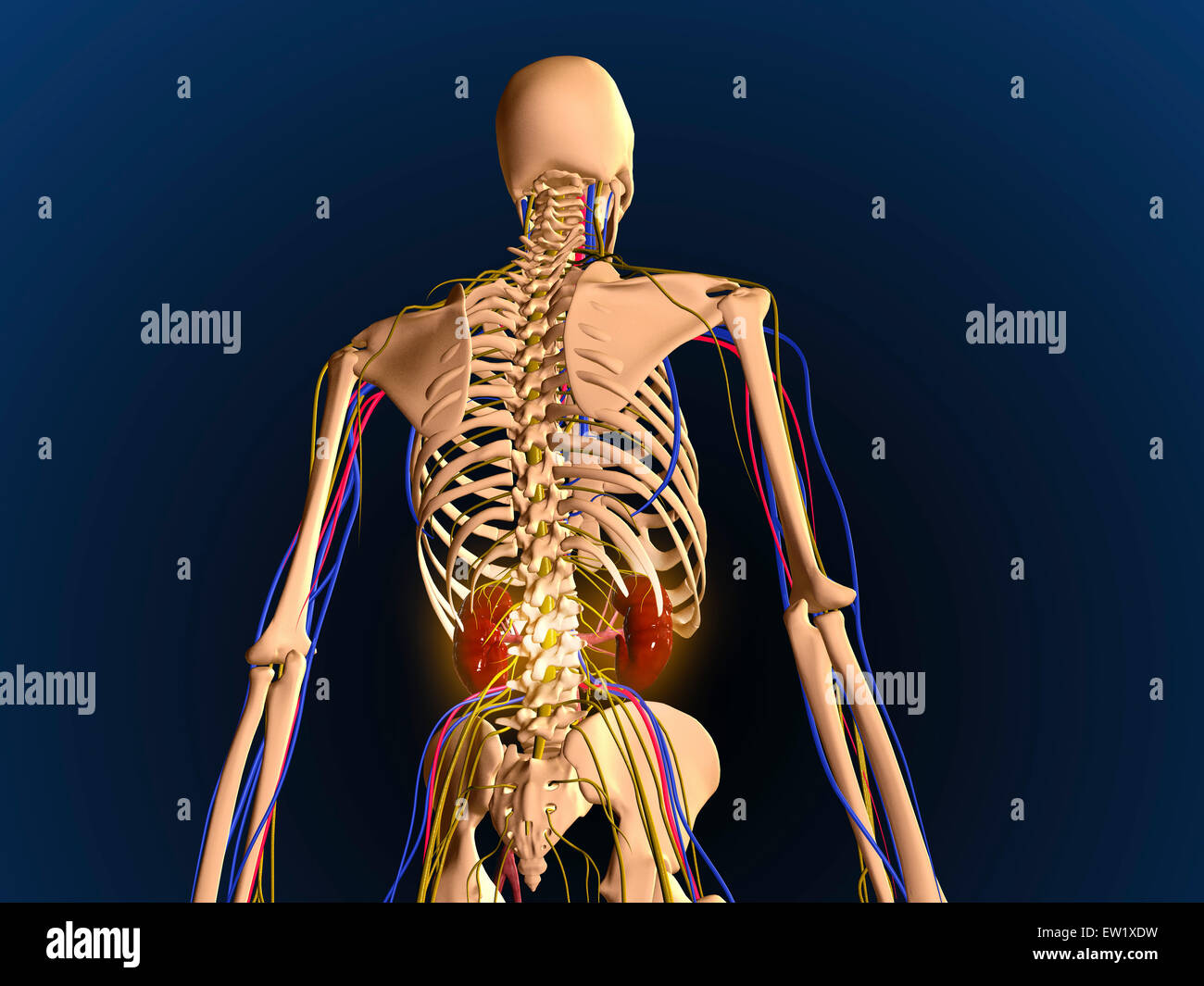 human skeleton showing kidneys and nervous system stock photo, Skeleton