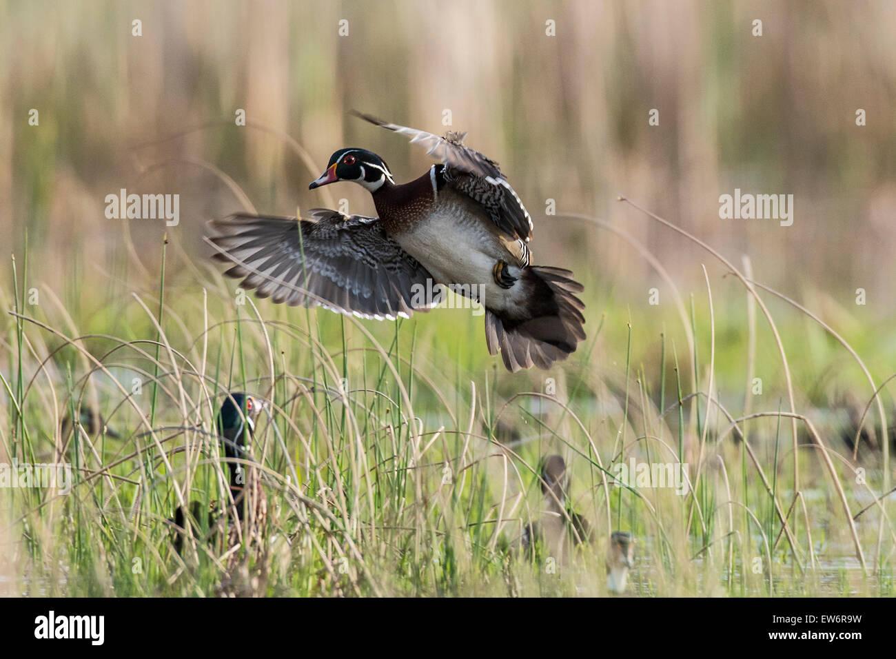 Flying Wood Ducks