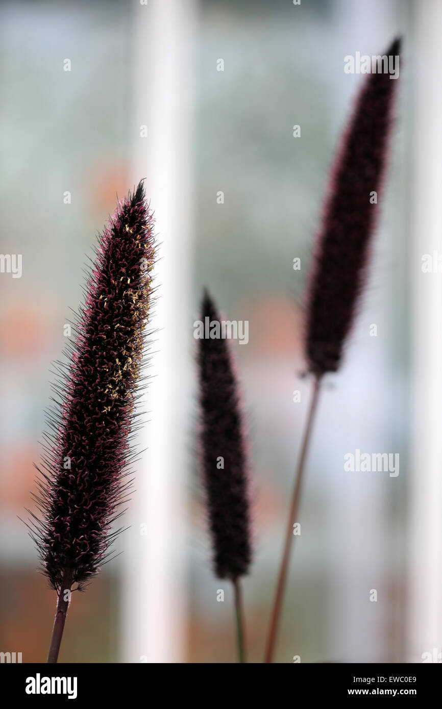 three reed inflorescences duthie park winter garden aberdeen
