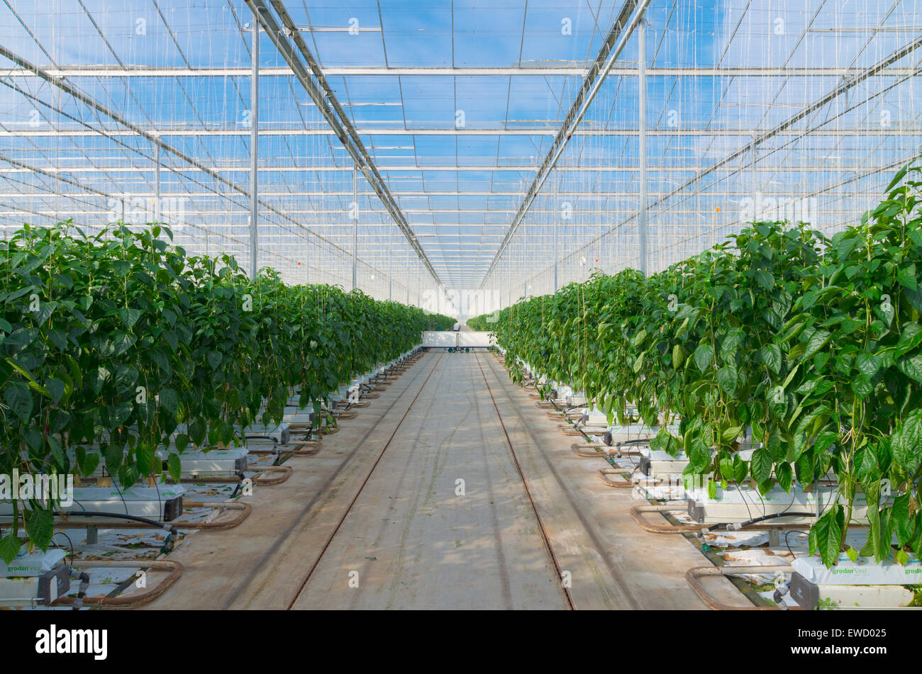 cultivation of green bell peppers in a commercial greenhouse in the stock photo royalty free. Black Bedroom Furniture Sets. Home Design Ideas