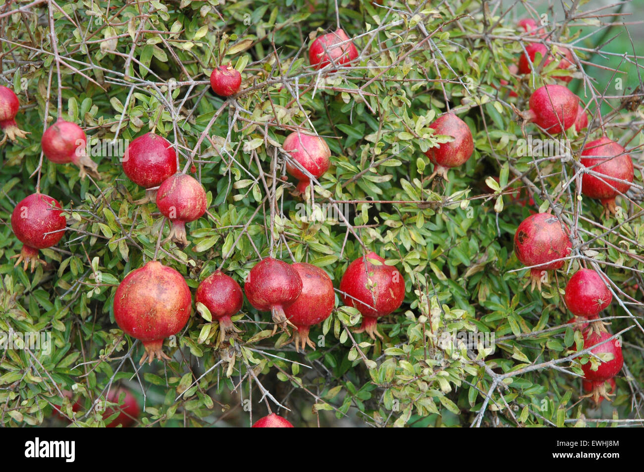 closeup image of small / mini pomegranate tree with fruits in, Natural flower
