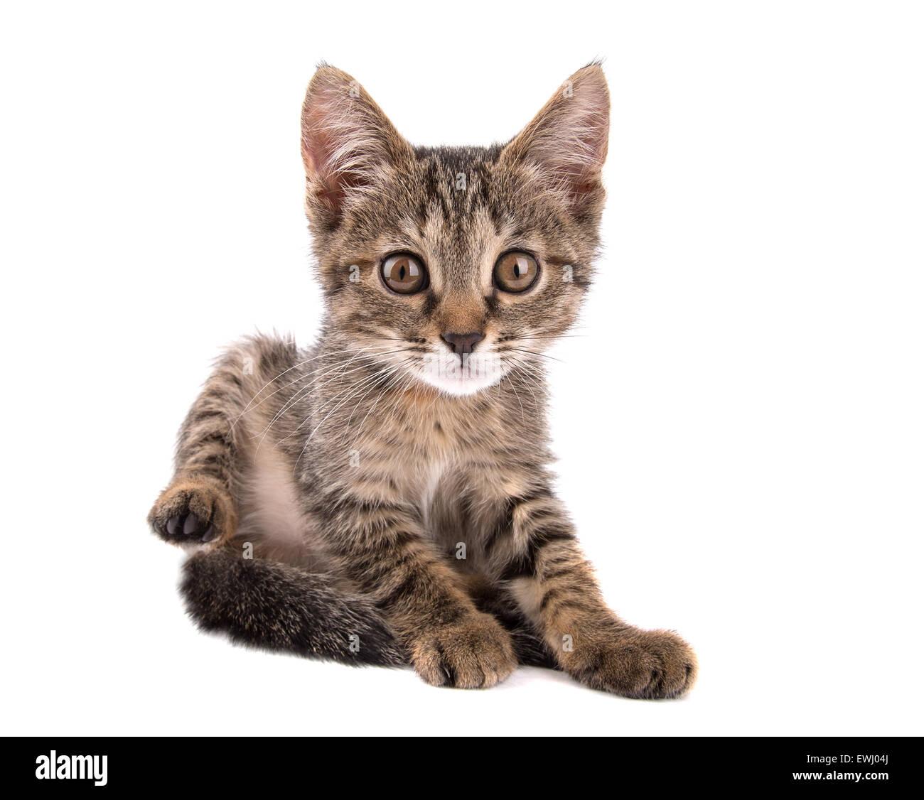 gray tabby kitten raising his hind leg looks into the camera on